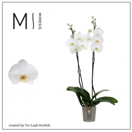 Wit | Midi-flora