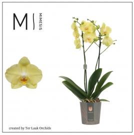Geel | Midi-flora
