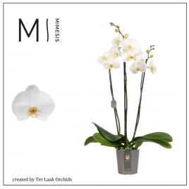 Wit | Midi-flora - 3 tak
