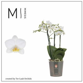 Wit | Multi-flora - 3 tak