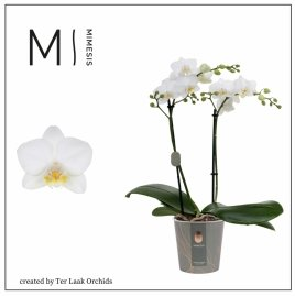 Wit | Multi-flora