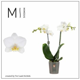Wit | Mini-flora