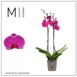 Paars | Midi-flora