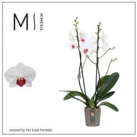 Red Eye | Midi-flora