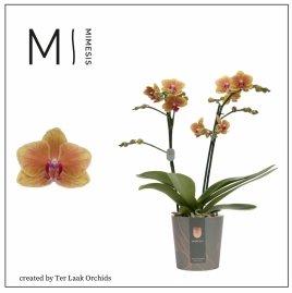 Oranje | Multi-flora