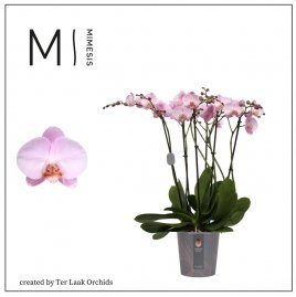 Lichtroze | Marvellous Midi