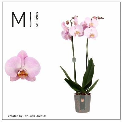 Roze | Midi-flora