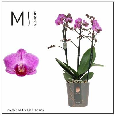 Roze | Multi-flora - 3 tak