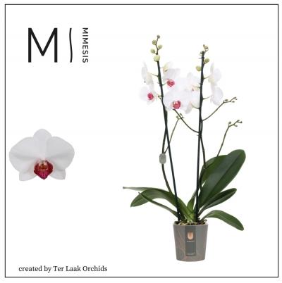 Red Eye   Midi-flora