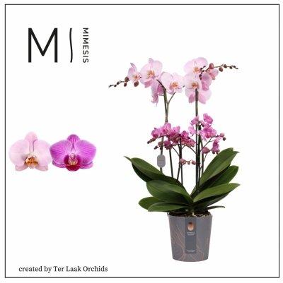 Roze   Marvellous Midi/Multi
